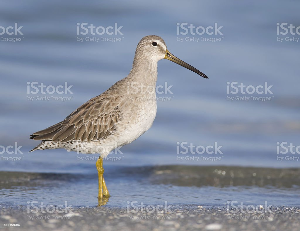 Lesser Yellowlegs wading in the surf stock photo
