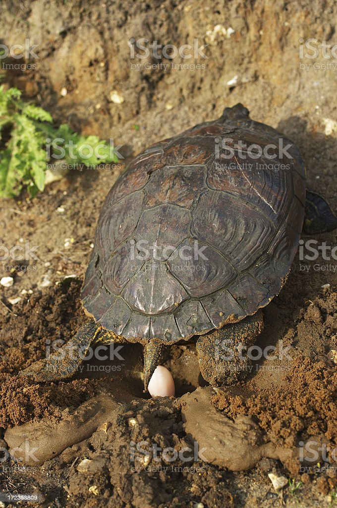 Red-eared terrapin Trachemys scripta elegans egg laying stock photo
