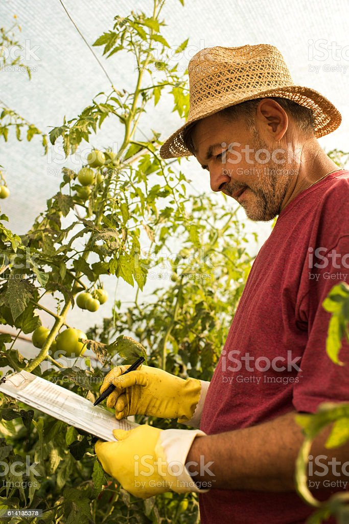 Let me check the progress of tomatoes! stock photo