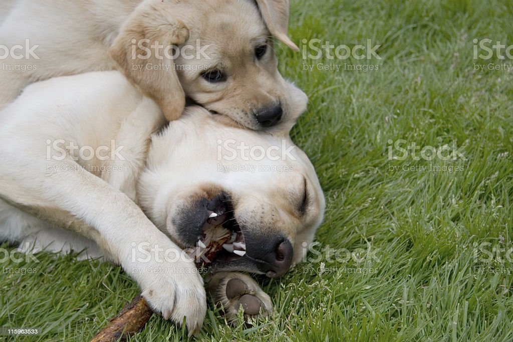 Let me enjoy my stick in peace... royalty-free stock photo