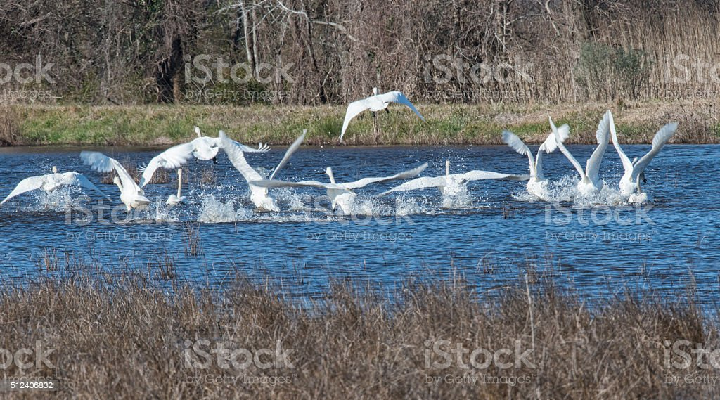 Let's fly (Swan taking off at Wildlife Reserve) stock photo