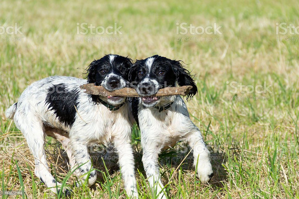Lets stick together-two wet puppies having fun. stock photo