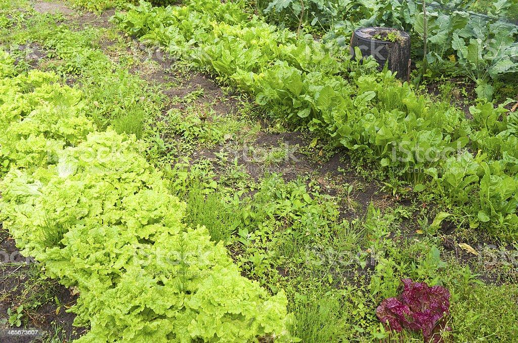 レタスと beets のオーガニック野菜の庭園です。 ロイヤリティフリーストックフォト