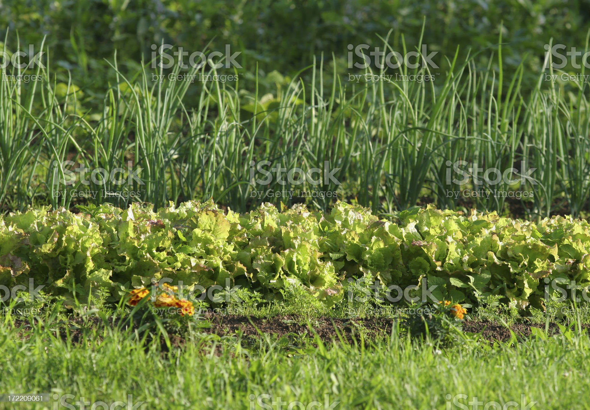 Lettuce and onion garden Rows royalty-free stock photo