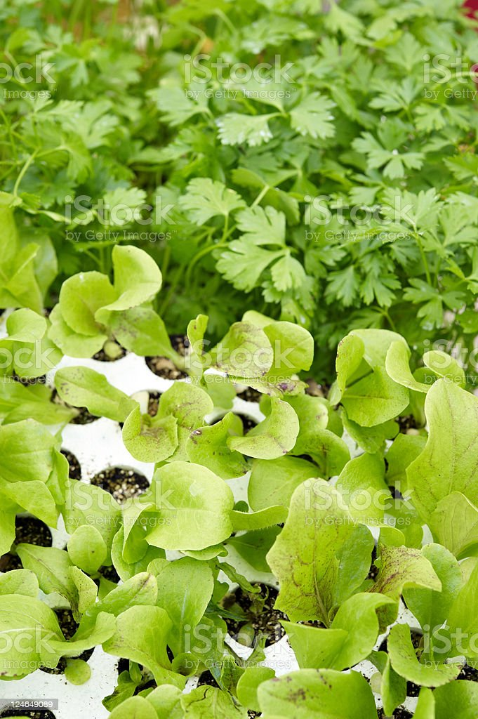 Lettuce and Parsley stock photo
