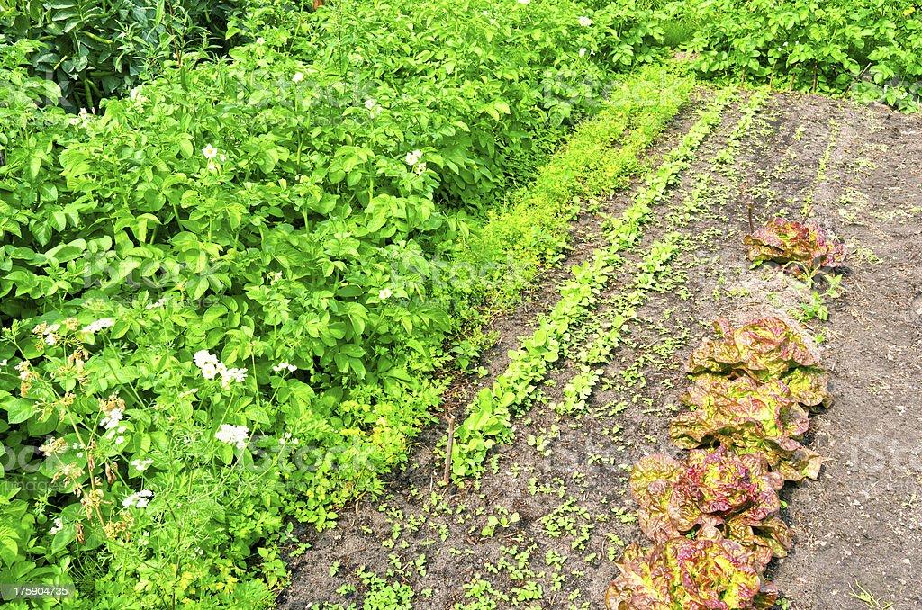 レタスとポテトのオーガニック野菜の庭園。 ロイヤリティフリーストックフォト