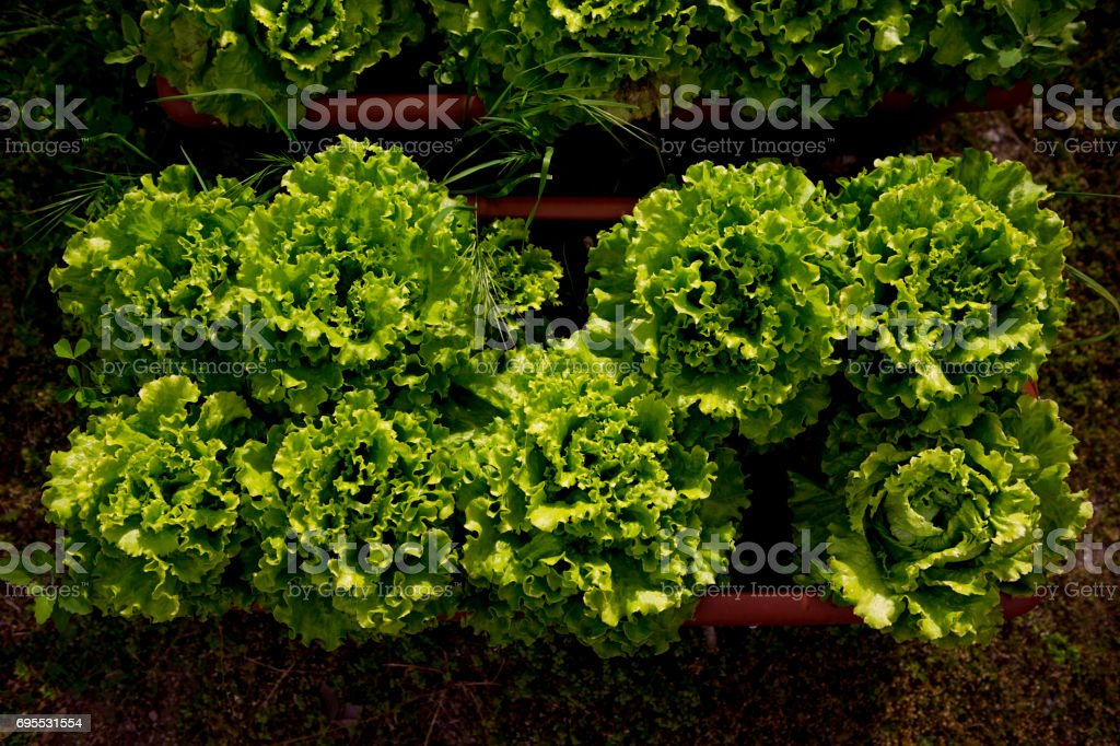 lettuce at garden near fethiye mugla turkey stock photo