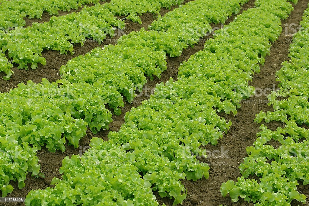 Lettuce crop. stock photo