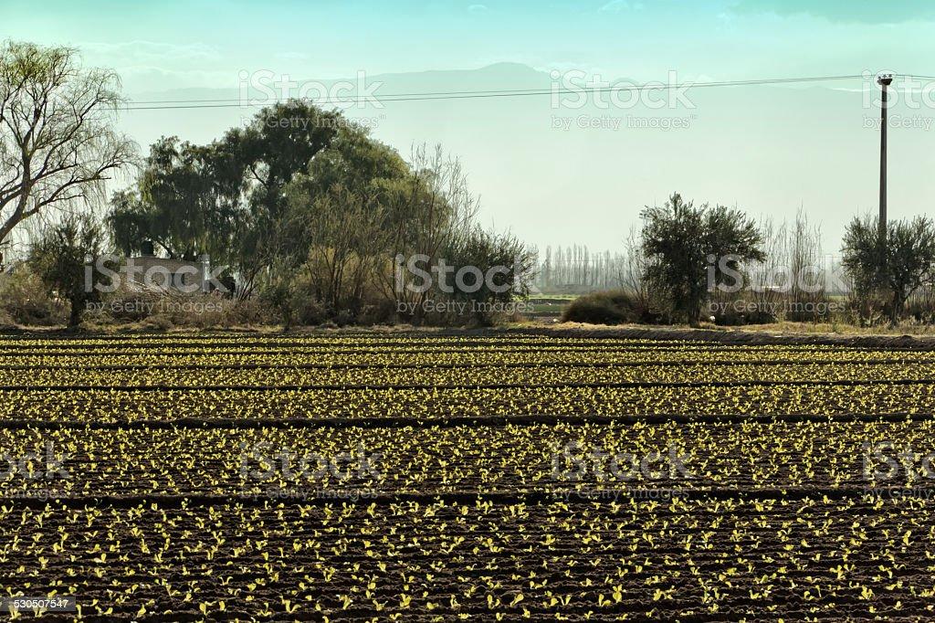Lettuce crop stock photo