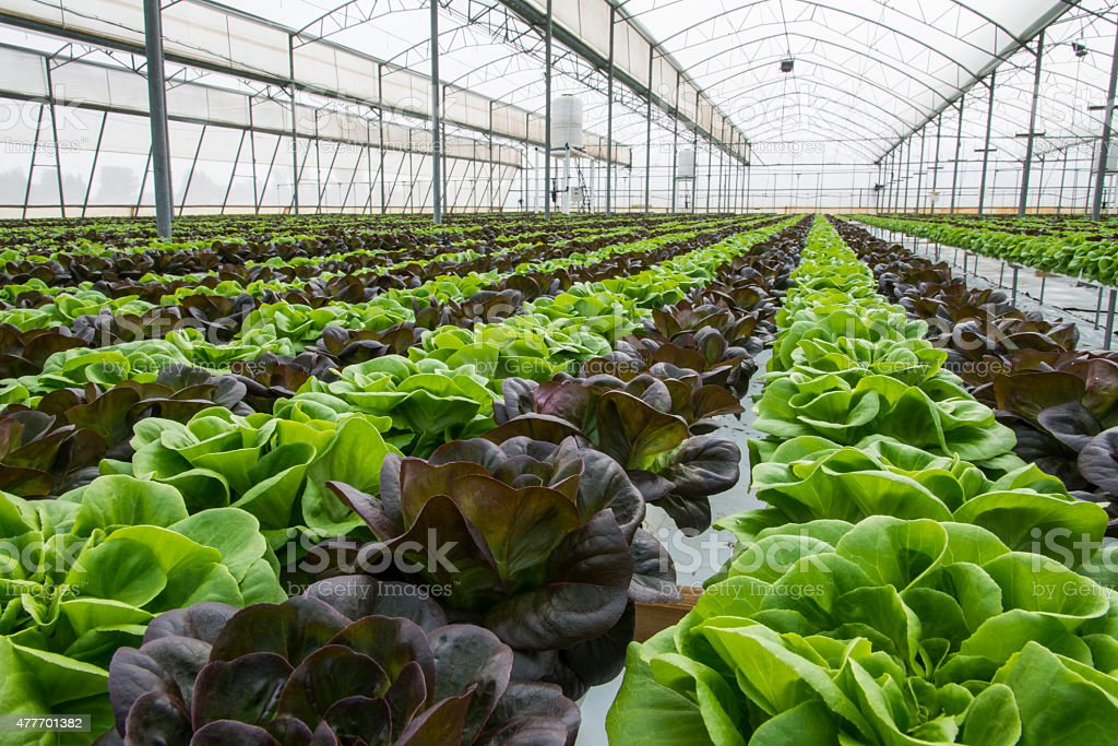 Lettuce crops in greenhouse stock photo