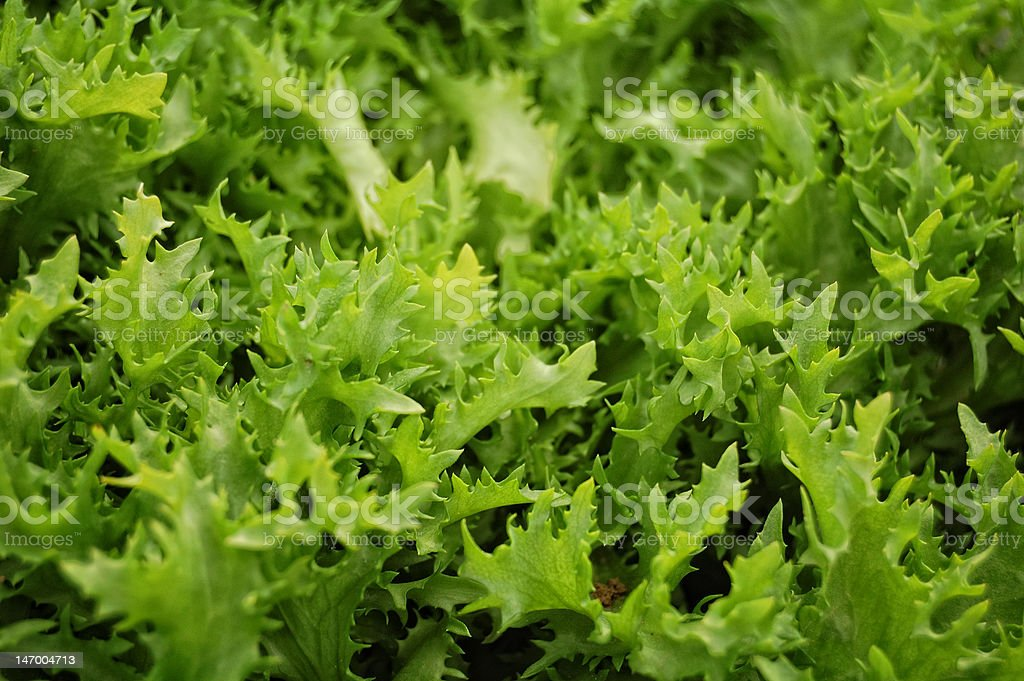 Lettuce detail royalty-free stock photo