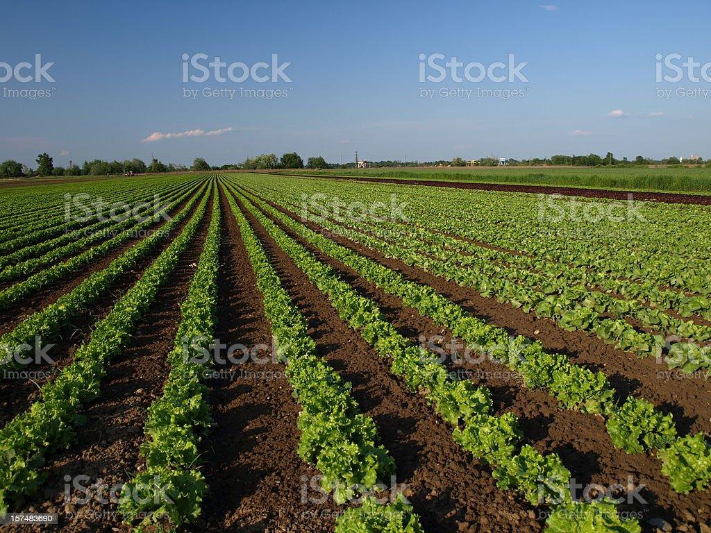 Lettuce farm royalty-free stock photo