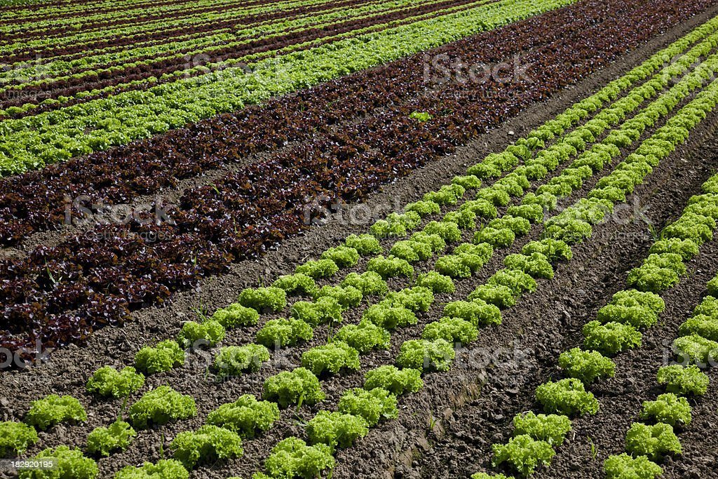 lettuce field royalty-free stock photo