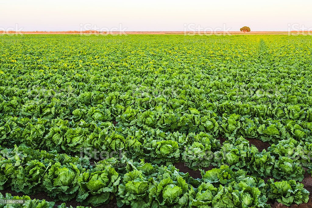 lettuce field ready for harvest near El Centro California royalty-free stock photo