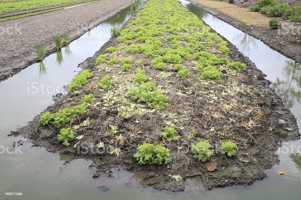 lettuce field with ditch royalty-free stock photo