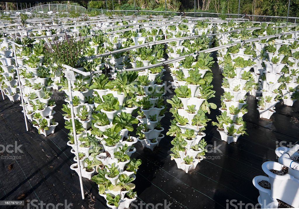 lettuce growing in a organic hydroponic garden stock photo