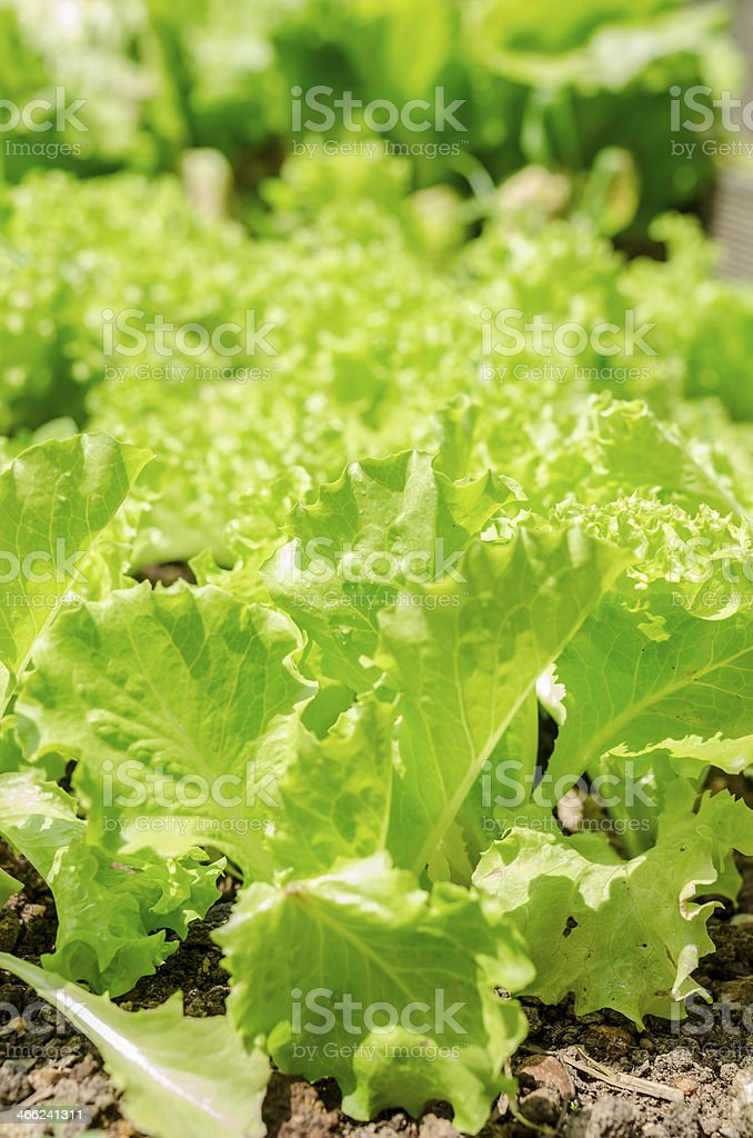Lettuce growing in home garden royalty-free stock photo