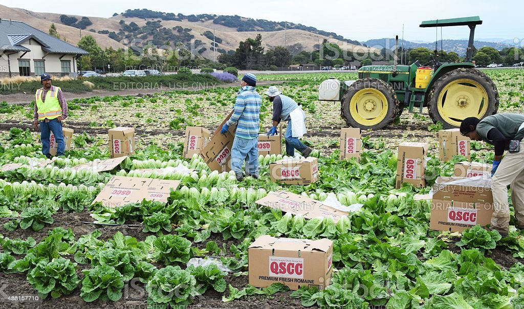 Lettuce Harvest in central California stock photo