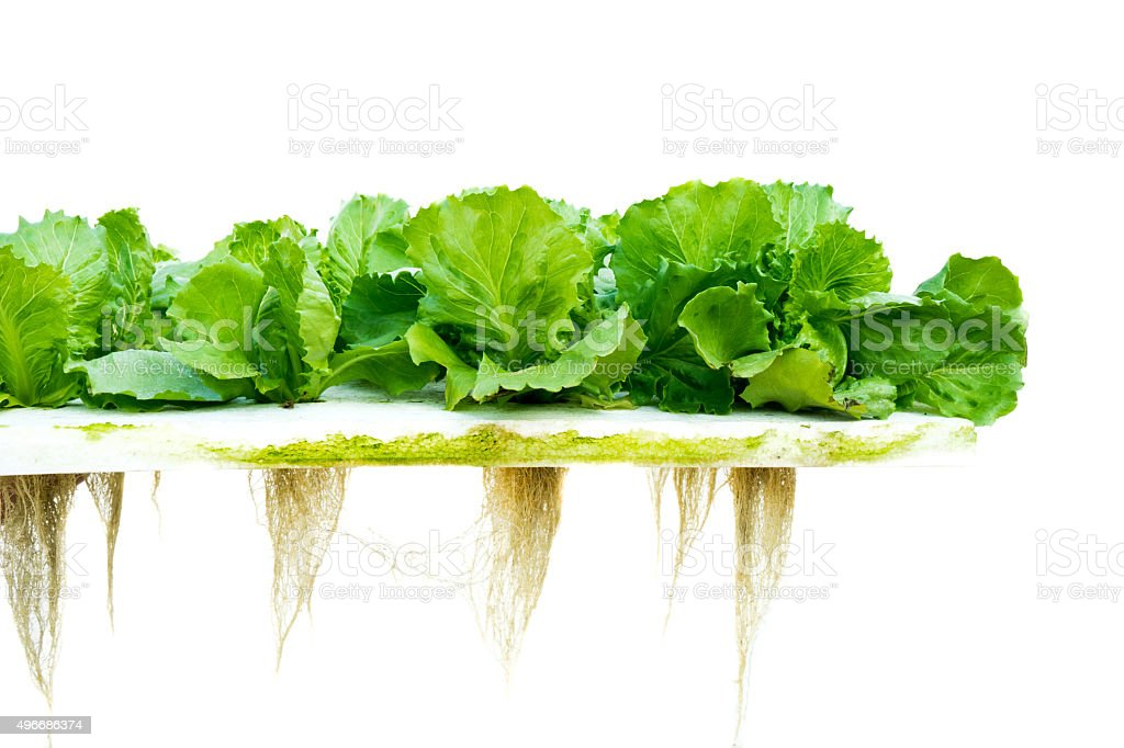 Lettuce hydroponic stock photo