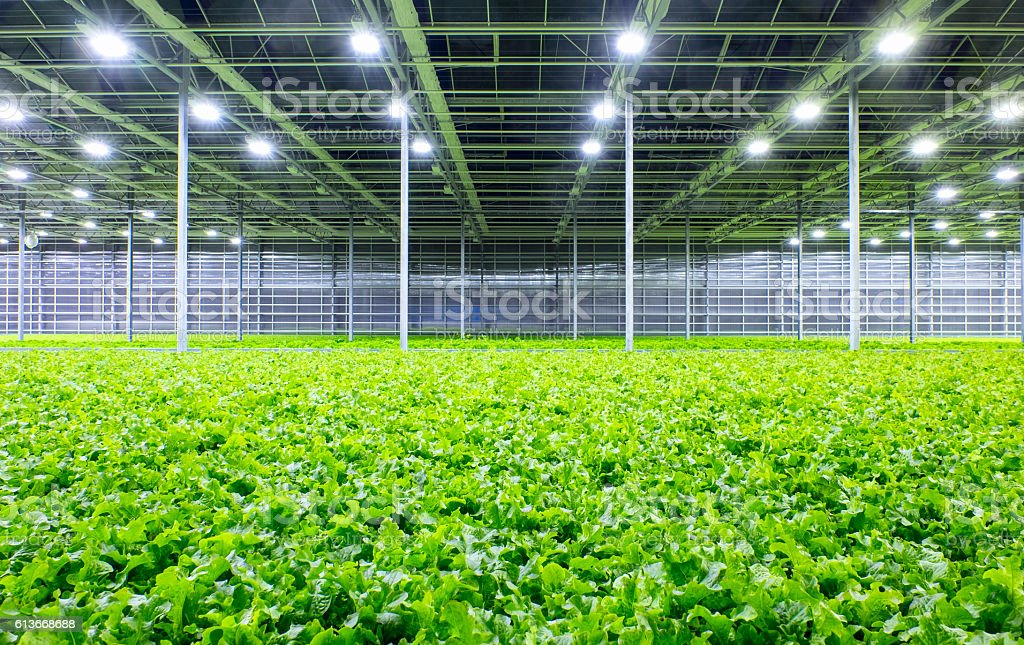Lettuce in greenhouse stock photo