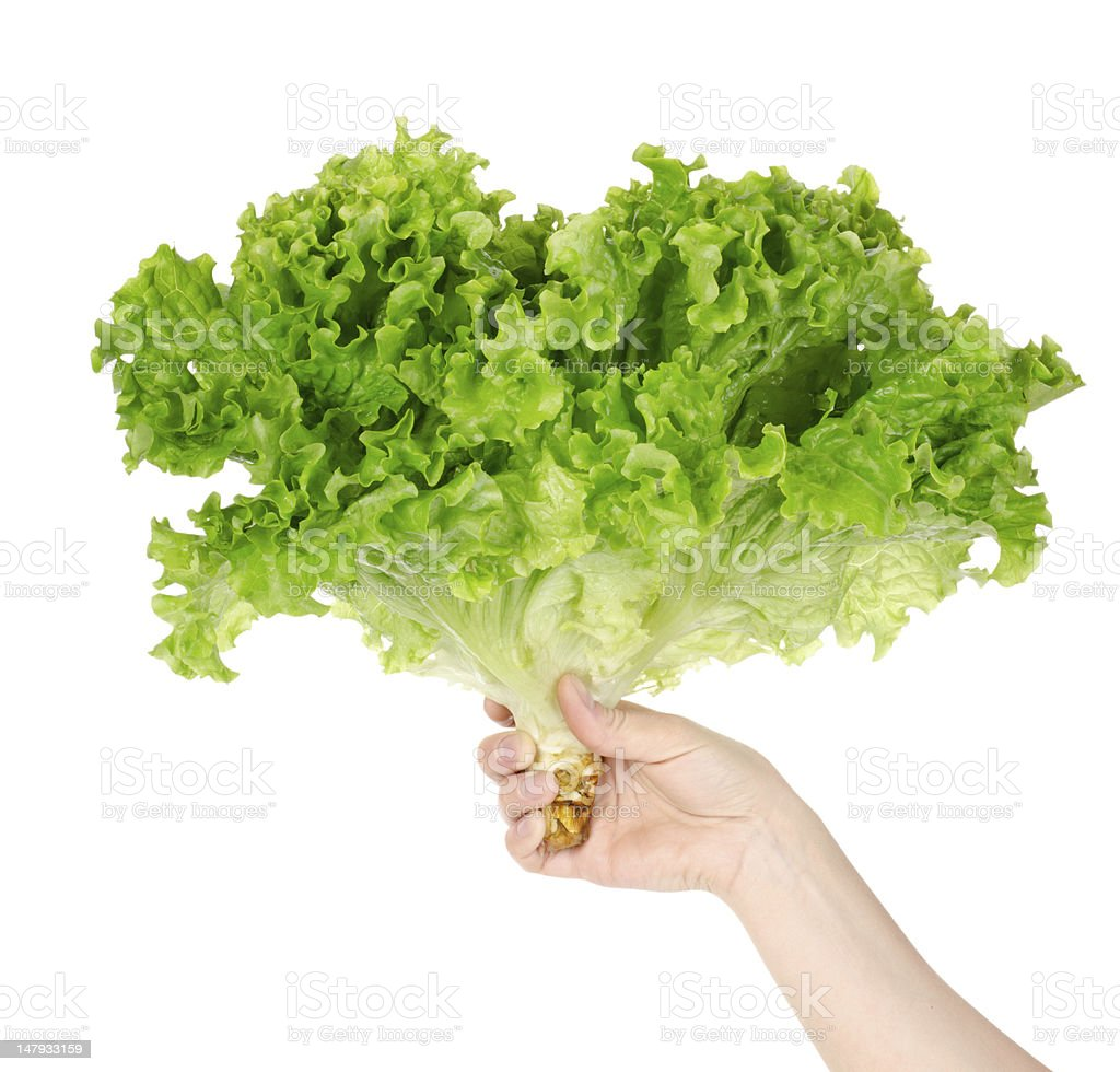 Lettuce in hand royalty-free stock photo