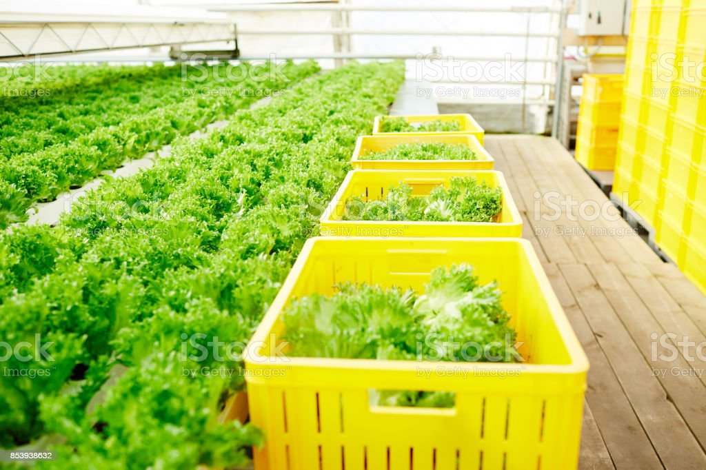 Lettuce in hothouse stock photo