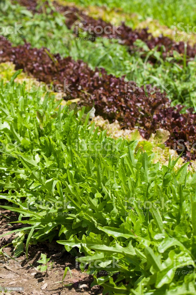 lettuce in rows royalty-free stock photo