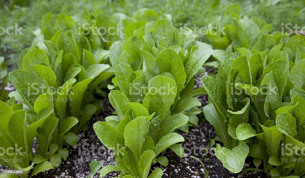 Lettuce in the garden stock photo