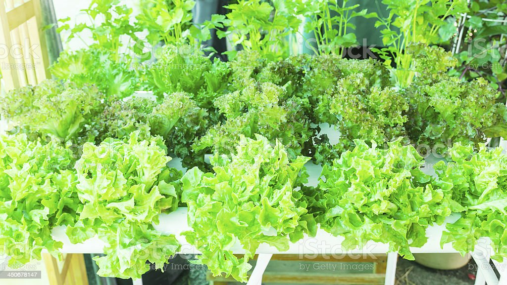 Lettuce in the greenhouse royalty-free stock photo