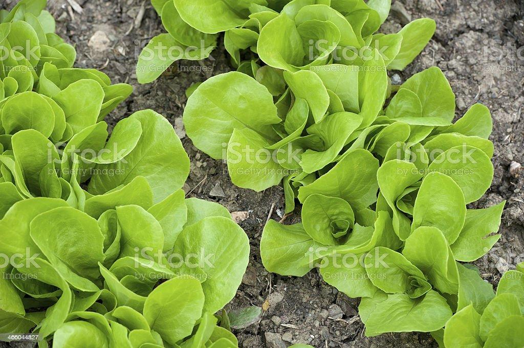 Lettuce in Vegetable Garden royalty-free stock photo