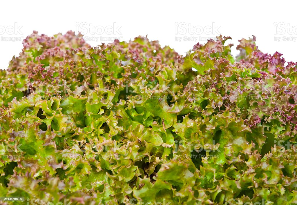 lettuce isolated stock photo