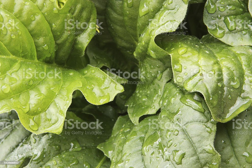 Lettuce Leaf Vegetable Food Plant royalty-free stock photo