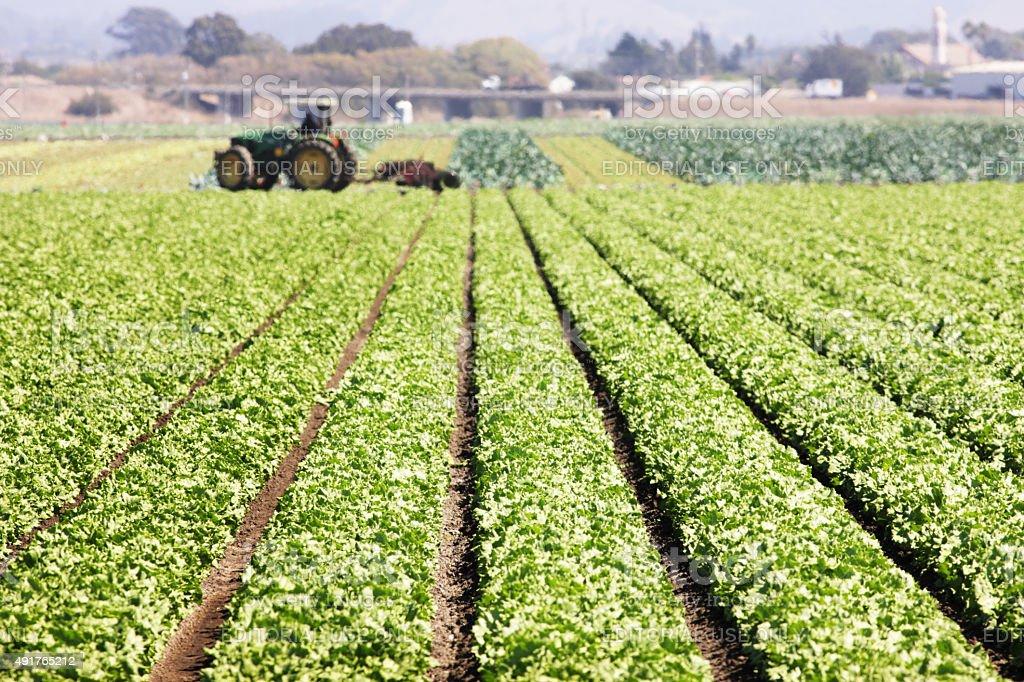 Lettuce Leaf Vegetable Grocery Crop stock photo