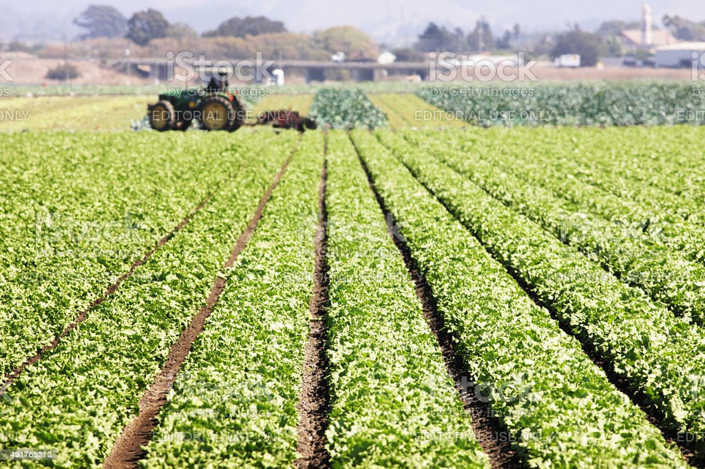 Lettuce Leaf Vegetable Grocery Crop stock photo
