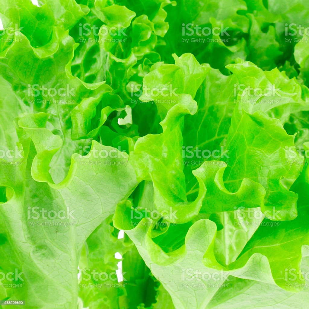 lettuce leaves on a white background stock photo