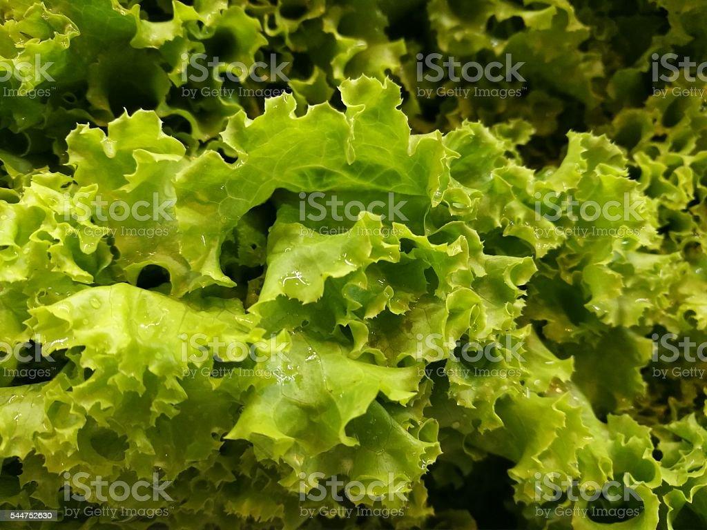 lettuce on fluorescence light in refrigerator royalty-free stock photo
