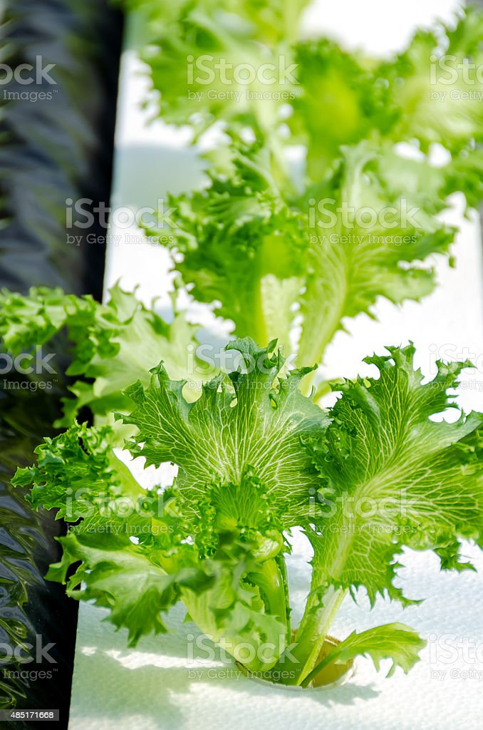 Lettuce on organic hydroponic vegetable garden stock photo