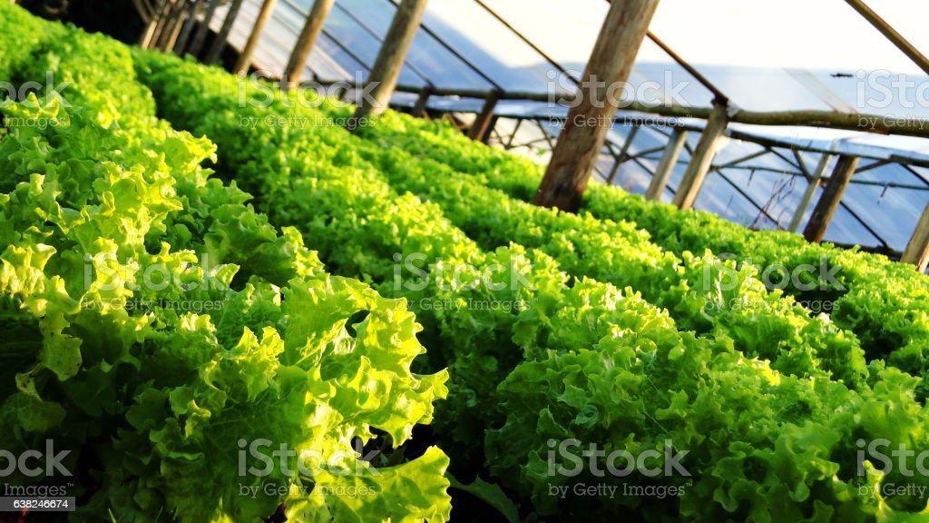 Lettuce Plantation Closeup stock photo