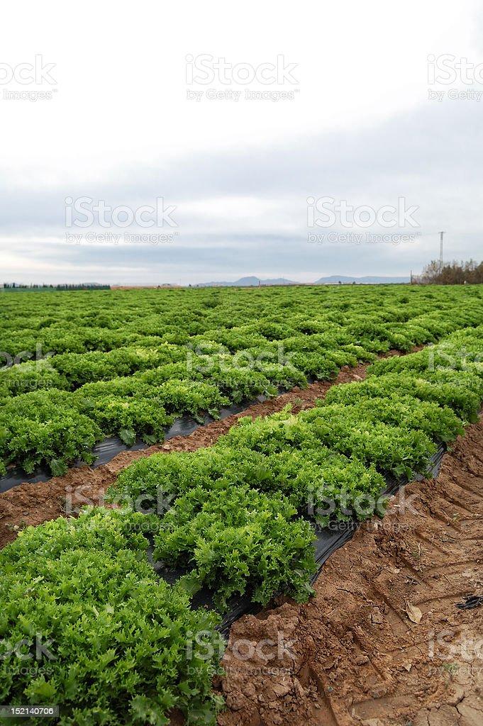 Lettuce plantation royalty-free stock photo