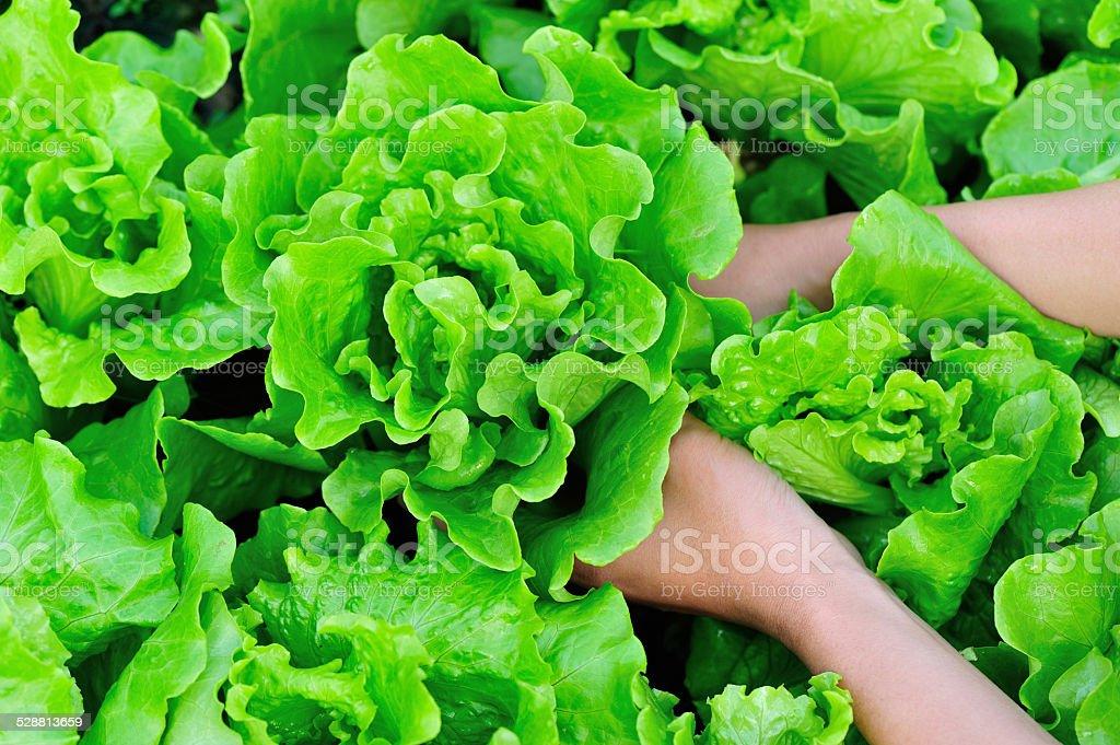 lettuce plants in garden stock photo
