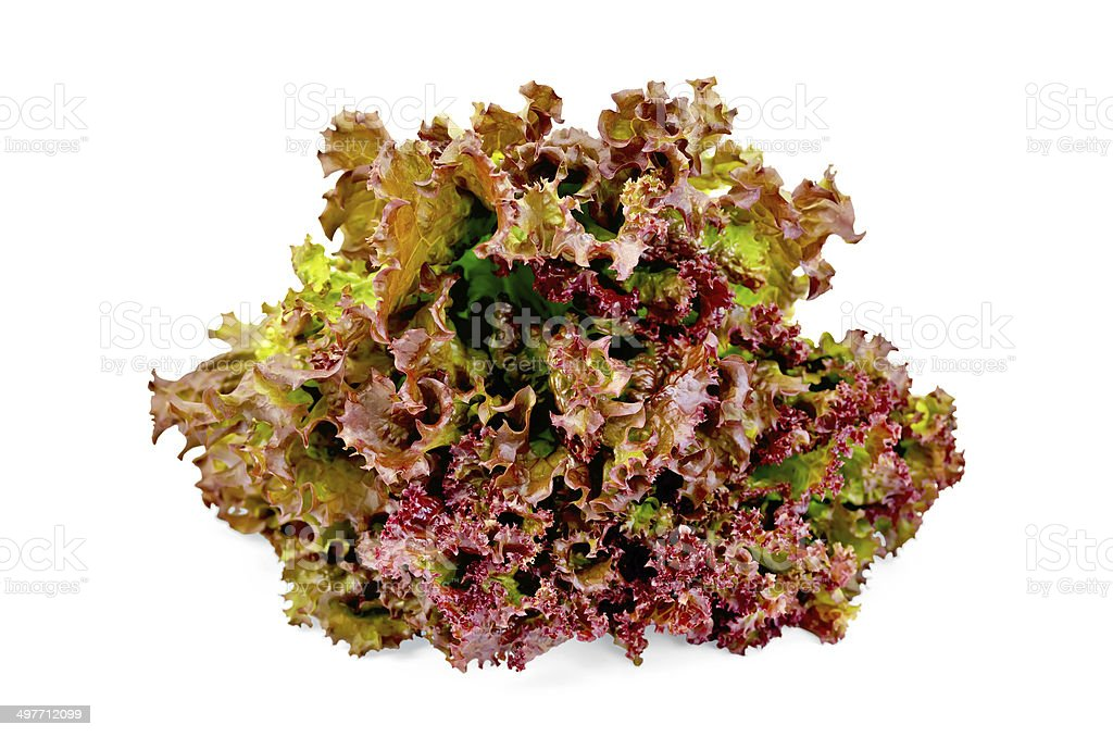 Lettuce red royalty-free stock photo