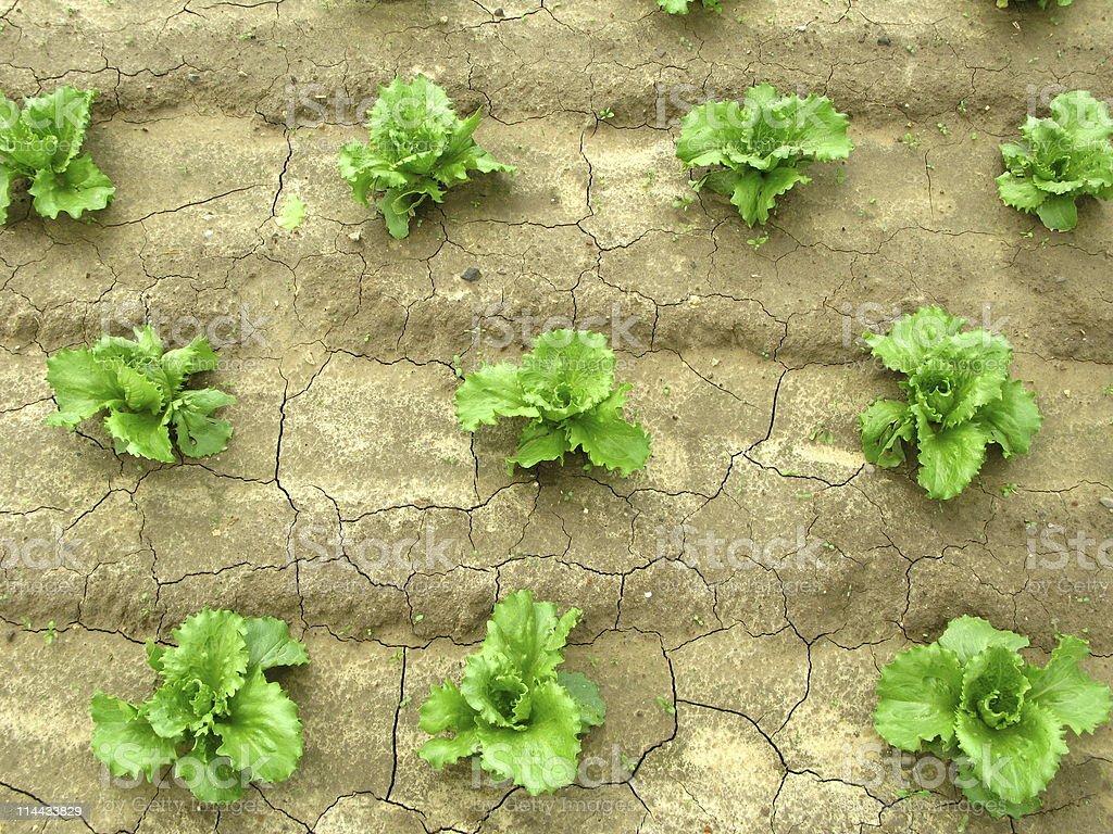 Lettuce Seedlings stock photo