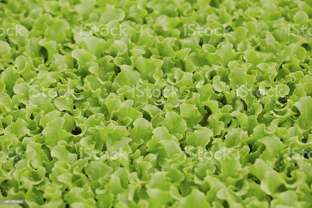 Lettuce seedlings royalty-free stock photo