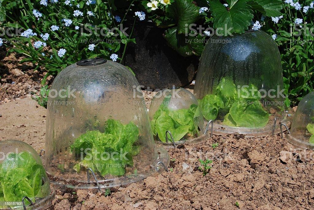 Lettuces growing in garden plastic bell jars stock photo