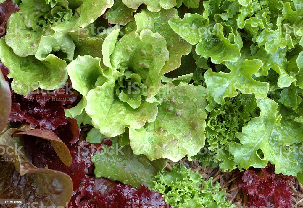 Lettuces royalty-free stock photo