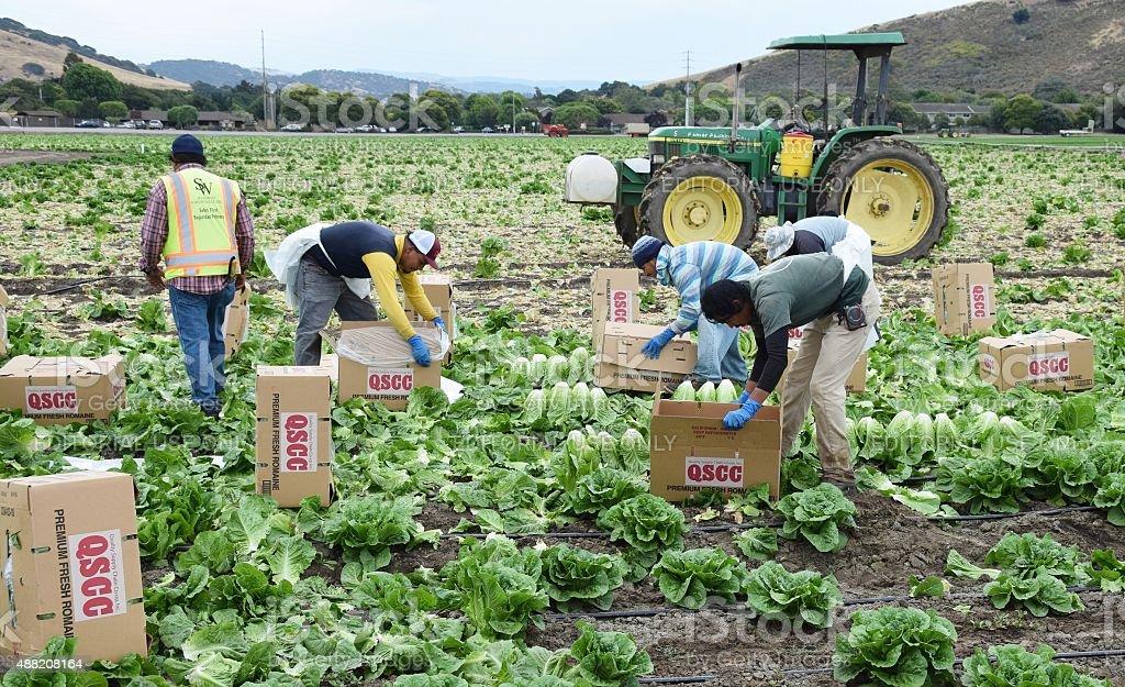 Letturc Harvest in central California stock photo