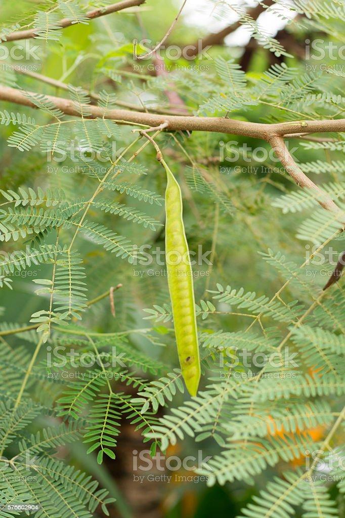 Leucaena leucocepphala stock photo