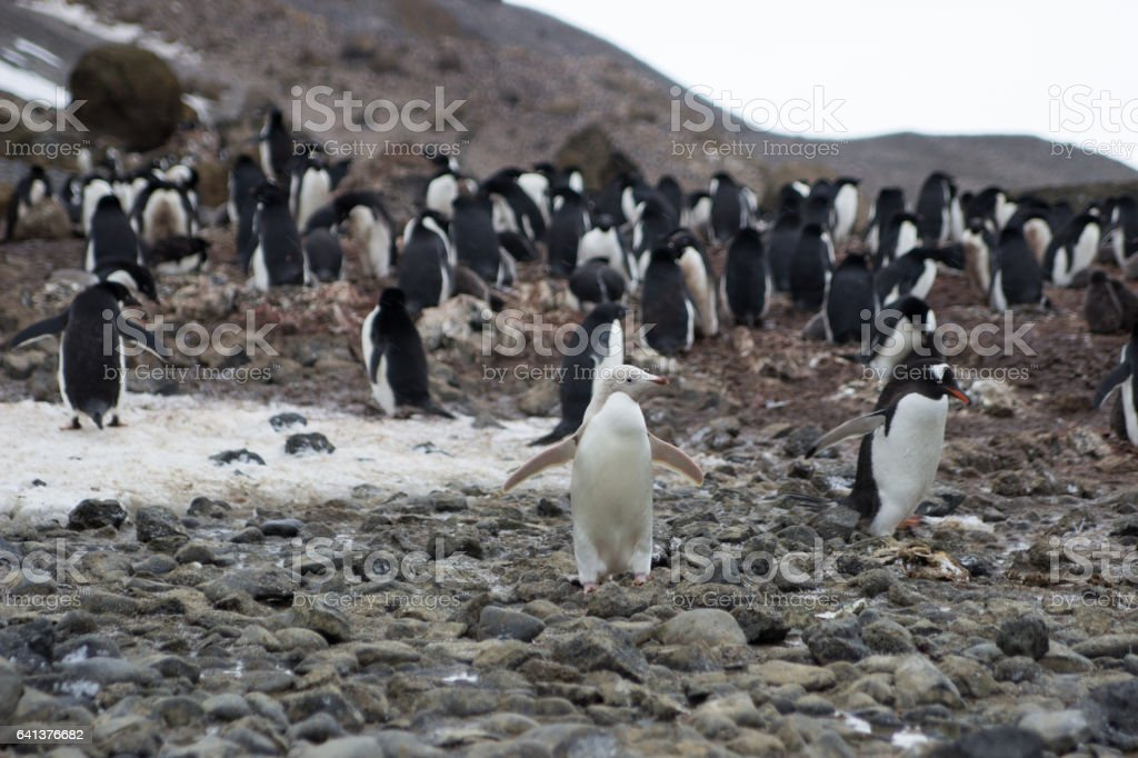 leucistic Adelie penguin stock photo