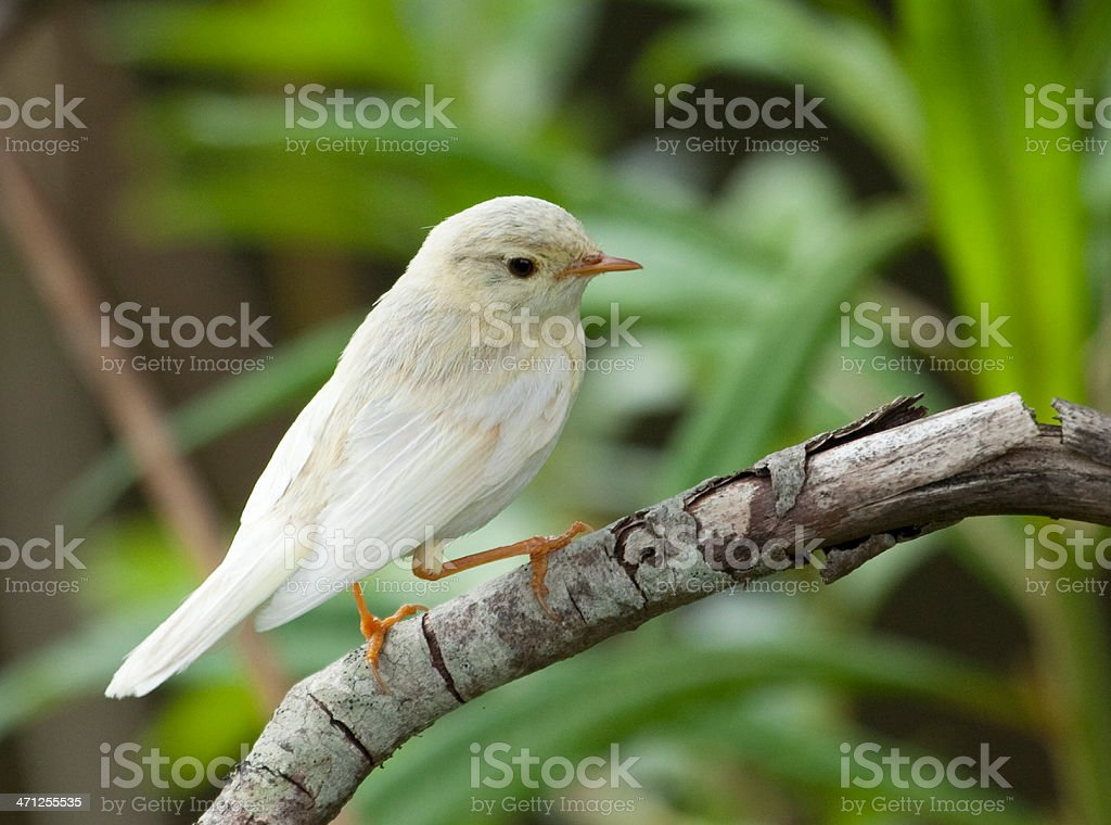 Leucistic male Willow Warbler (Phylloscopus trochilus) perched on branch stock photo