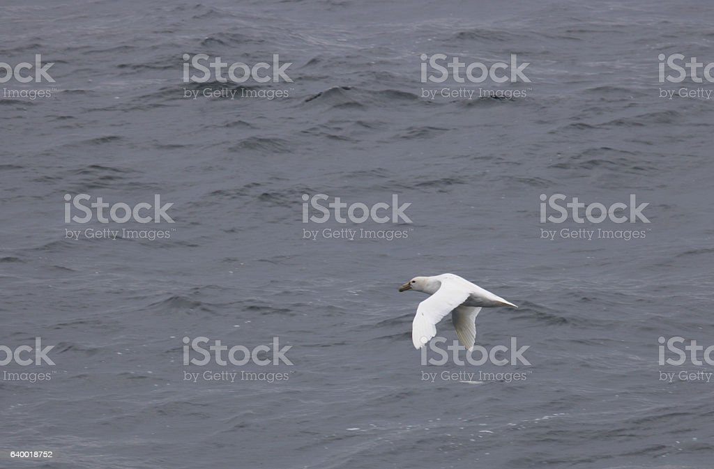 Leucistic southern giant petral stock photo